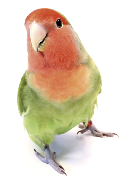 Papegaai klein